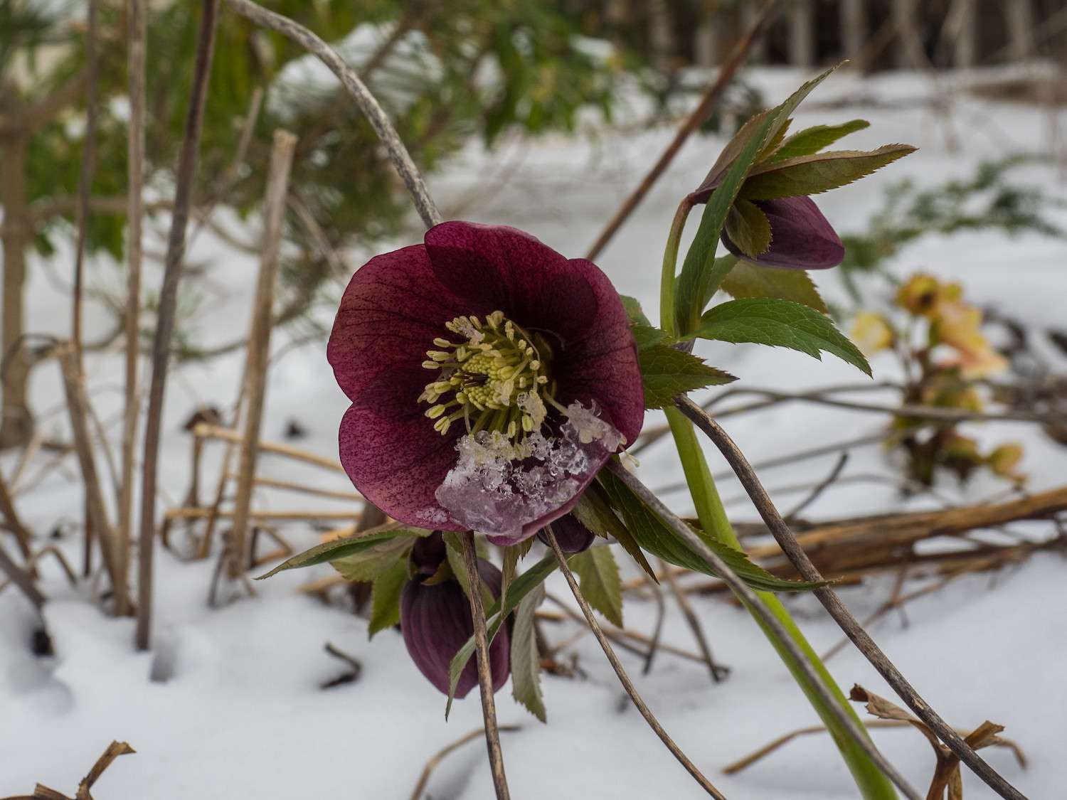A round maroon flower with a yellow center blossoms in the snow