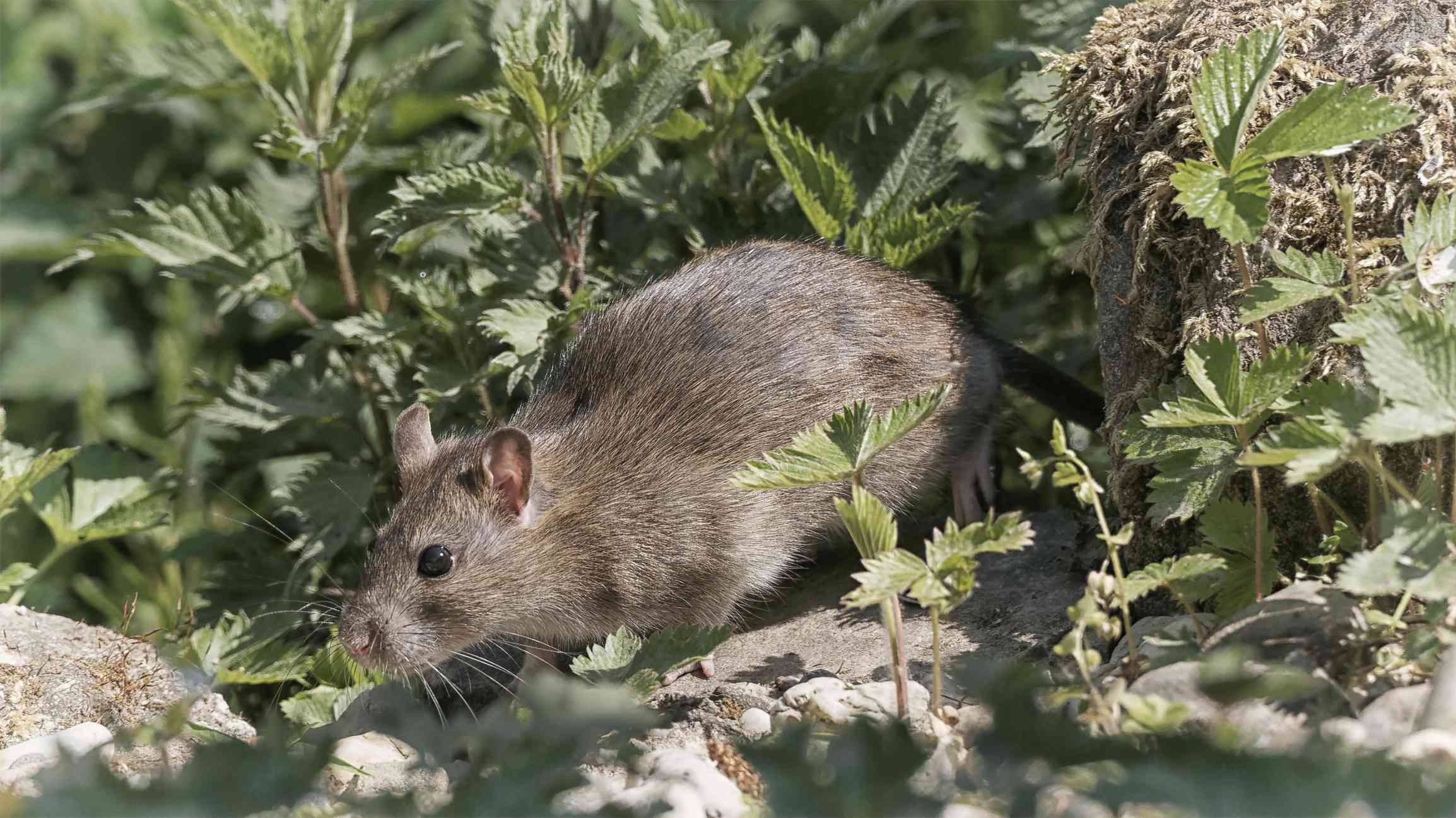 A brown rat surrounded by small green plants