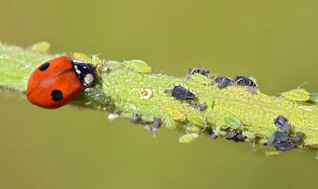 A ladybug eats aphids on a stem