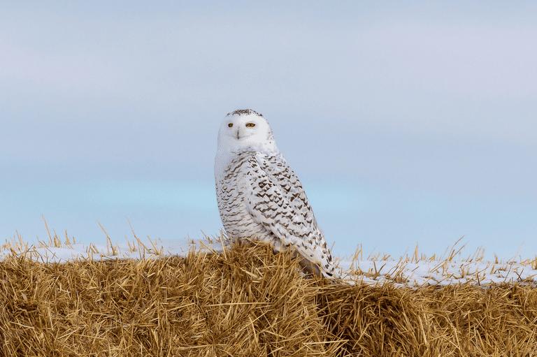 Foto: Snowy Owl inspecciona su reino