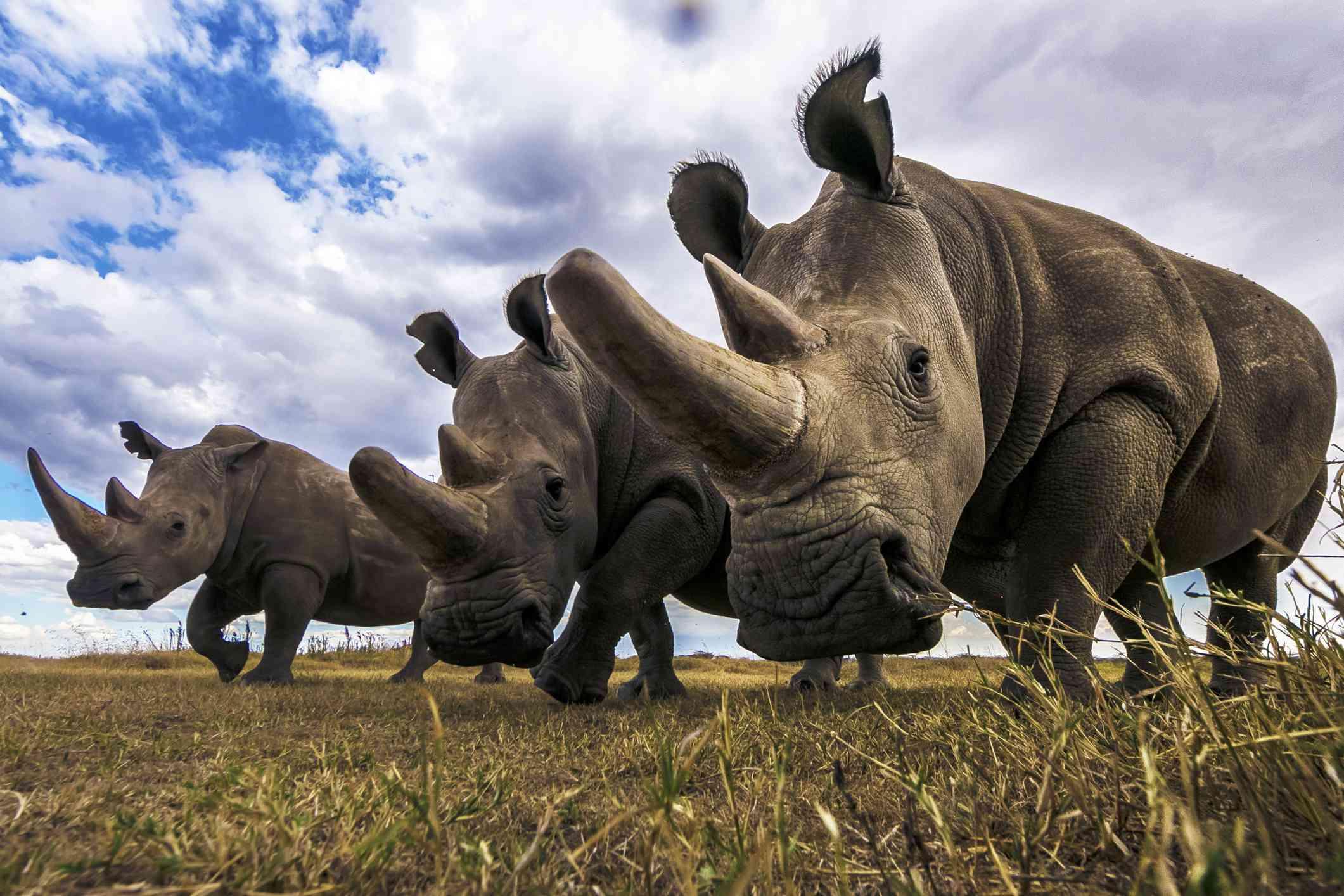 A southern white rhino alongside two northern white rhino females