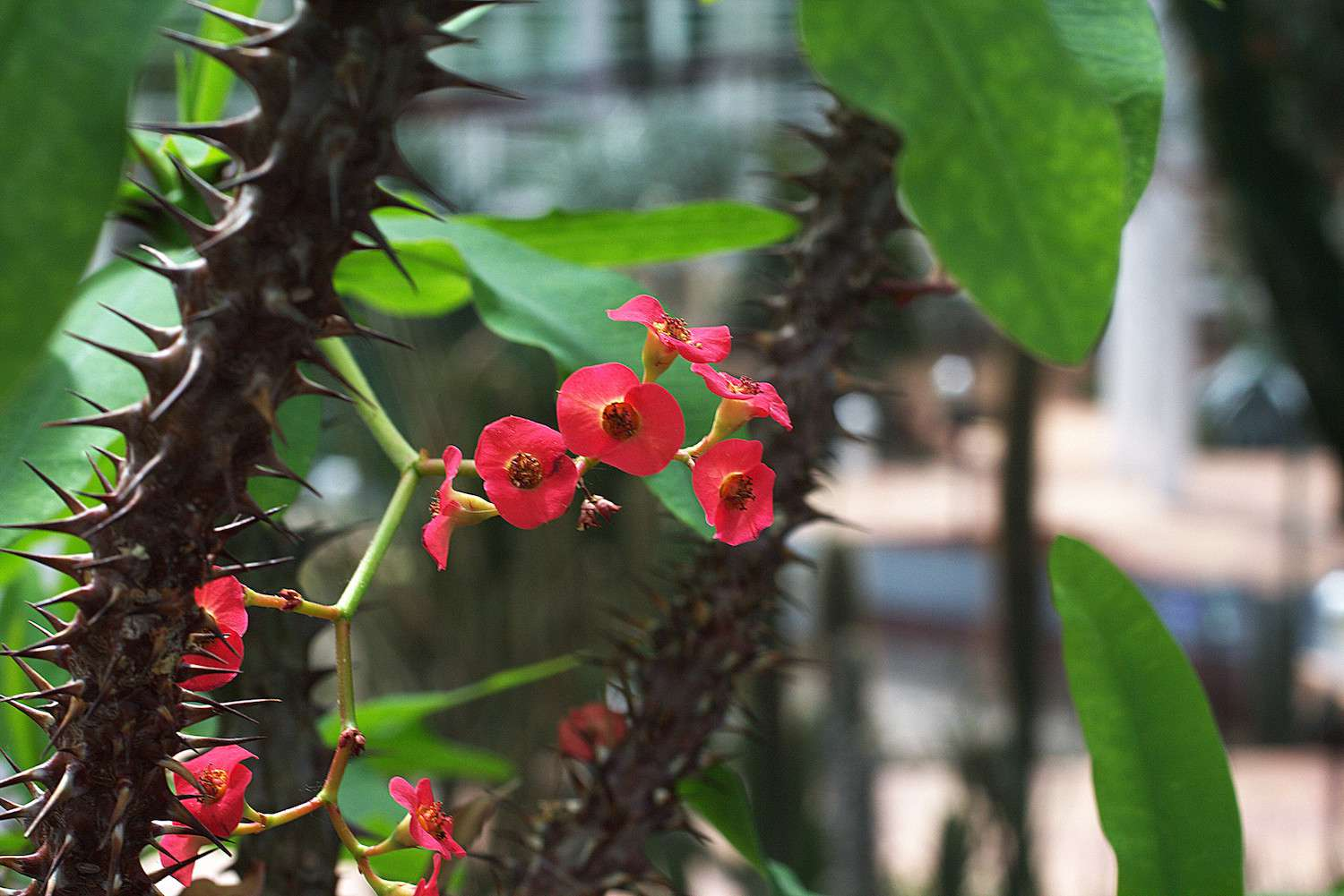 A stem of thorns guards the small, cluster of dark pink flowers on this Crown of Thorn plant