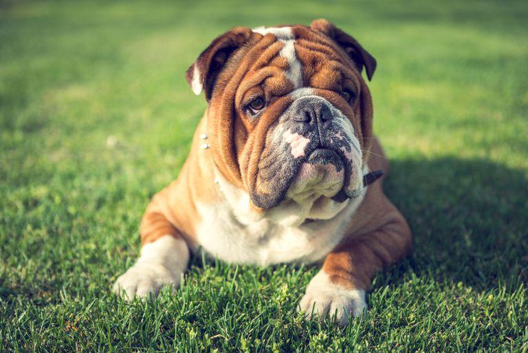 Los Bulldogs enfrentan problemas de salud debido a la cría imprudente