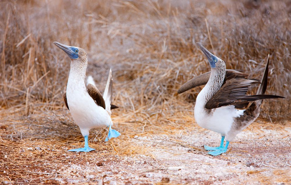 White birds with long pointed bills, brown wings and bright blue webbed feet, blue footed boobies