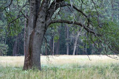 A black oak tree in a field