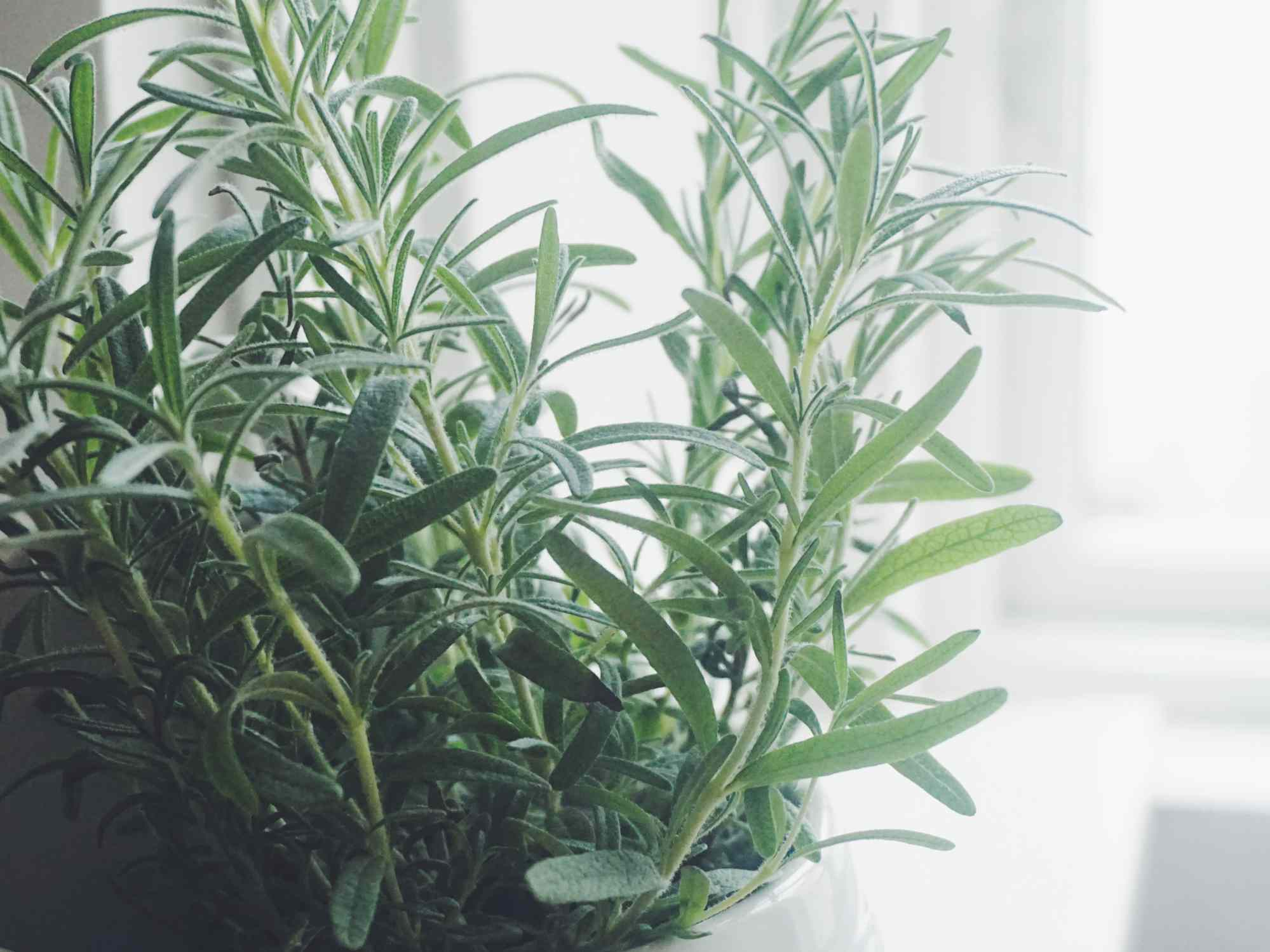 Close up of rosemary plant in container