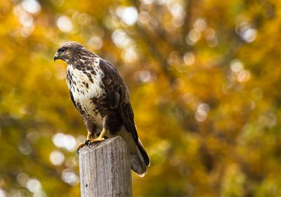 Hawk perched on a wooden pole