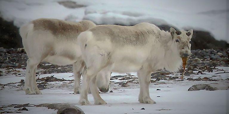 Los renos extremos de Noruega comen algas para hacer frente al cambio climático