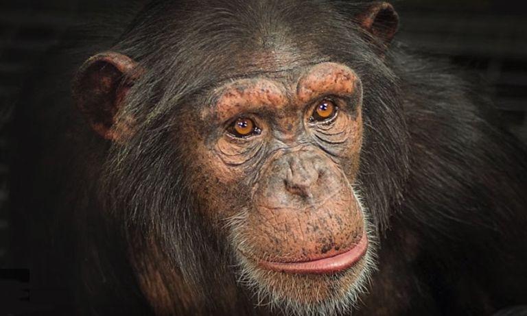 Los últimos chimpancés de investigación de Estados Unidos llegan a su nuevo hogar en Georgia del Norte