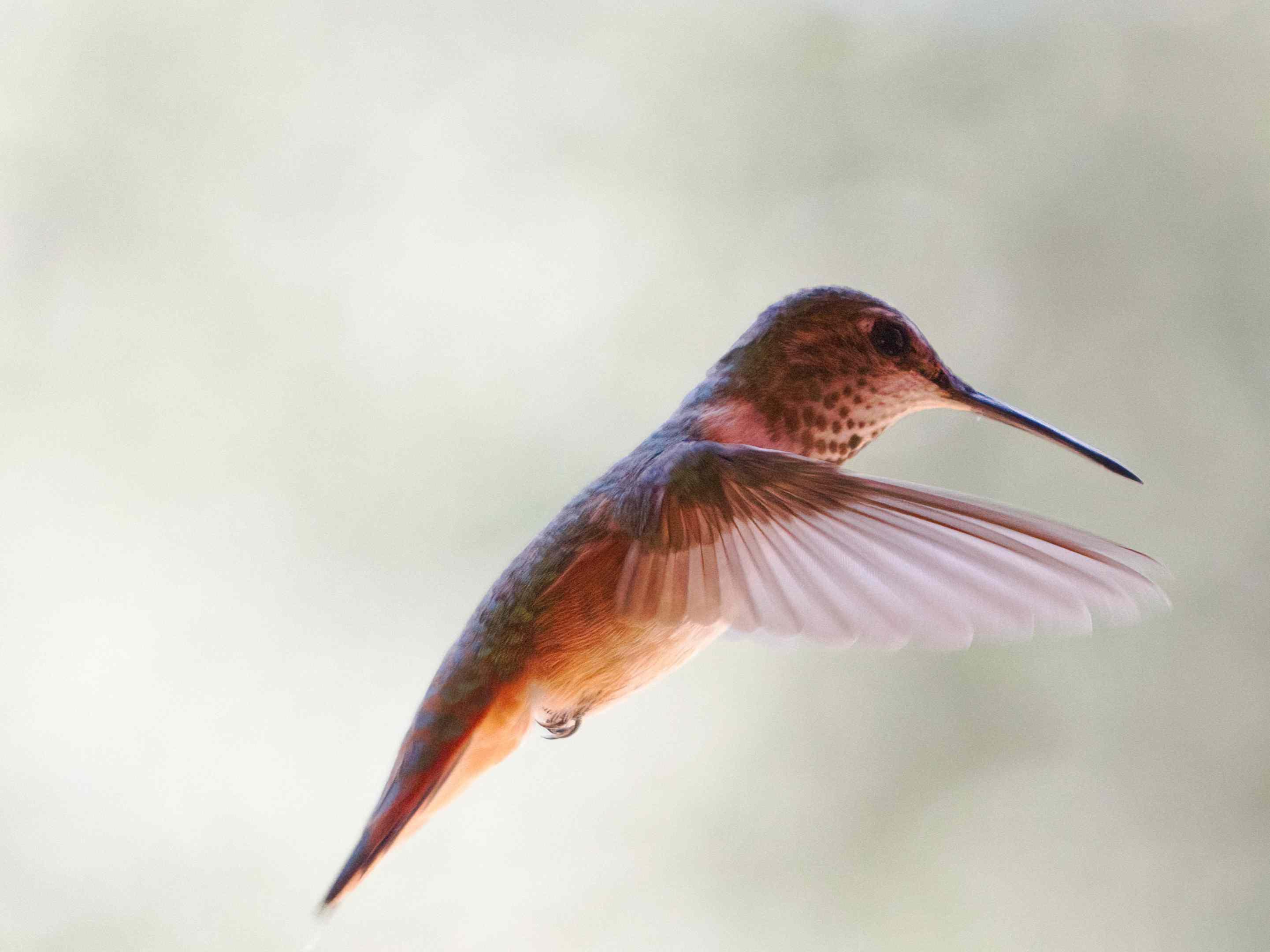 brown spotted hummingbird in midflight