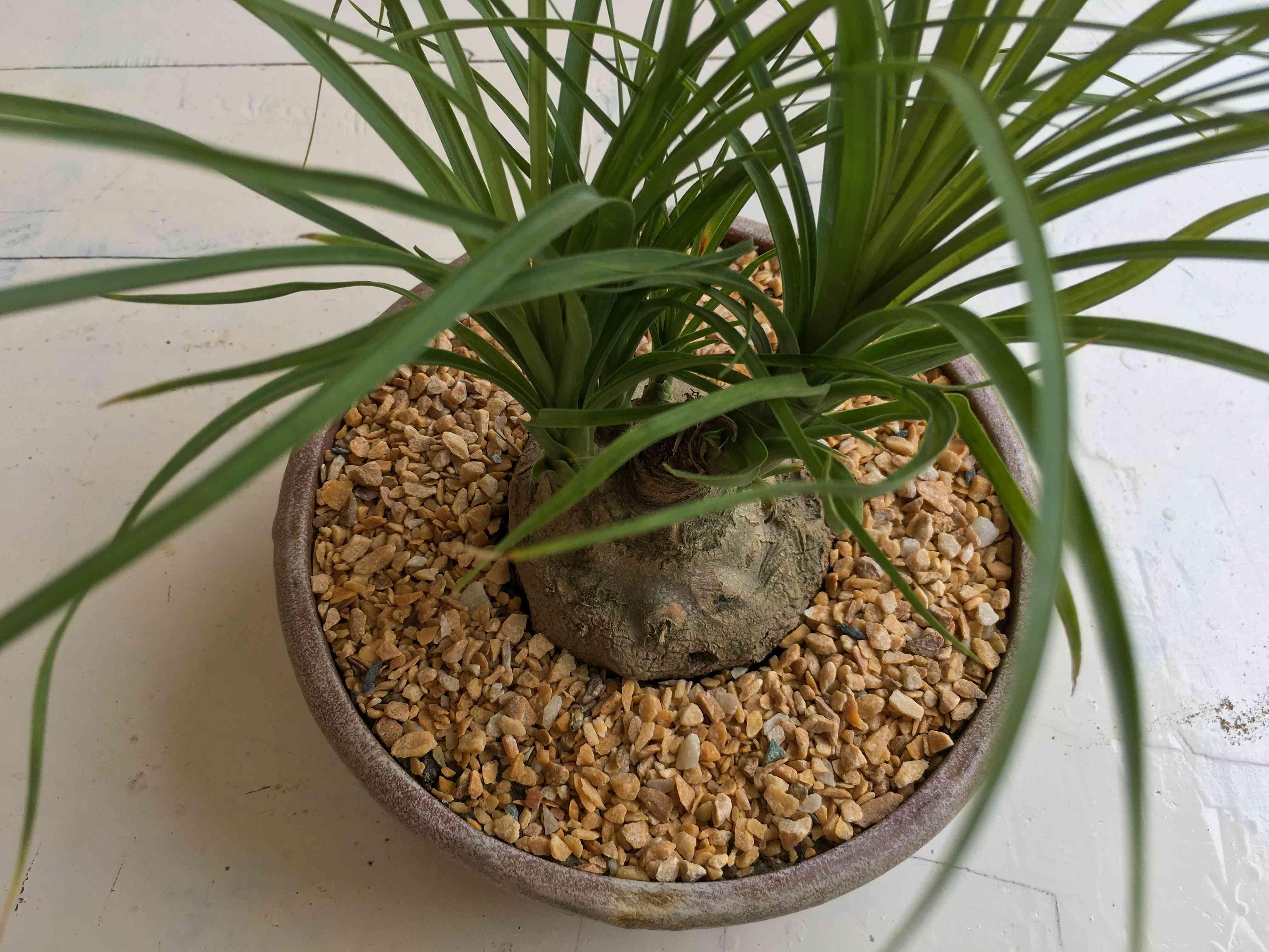 Small Beaucarnea ponytail palm closeup view