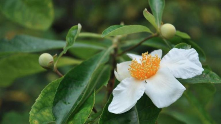 Franklin Tree, (Franklinia alatamaha), Possibly Extinct (GX) in the Wild. —a cultivated example of this species as no known wild individuals exist.