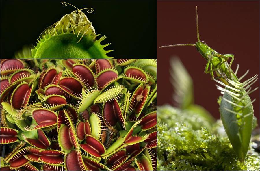 Carnivorous plants: Venus flytrap