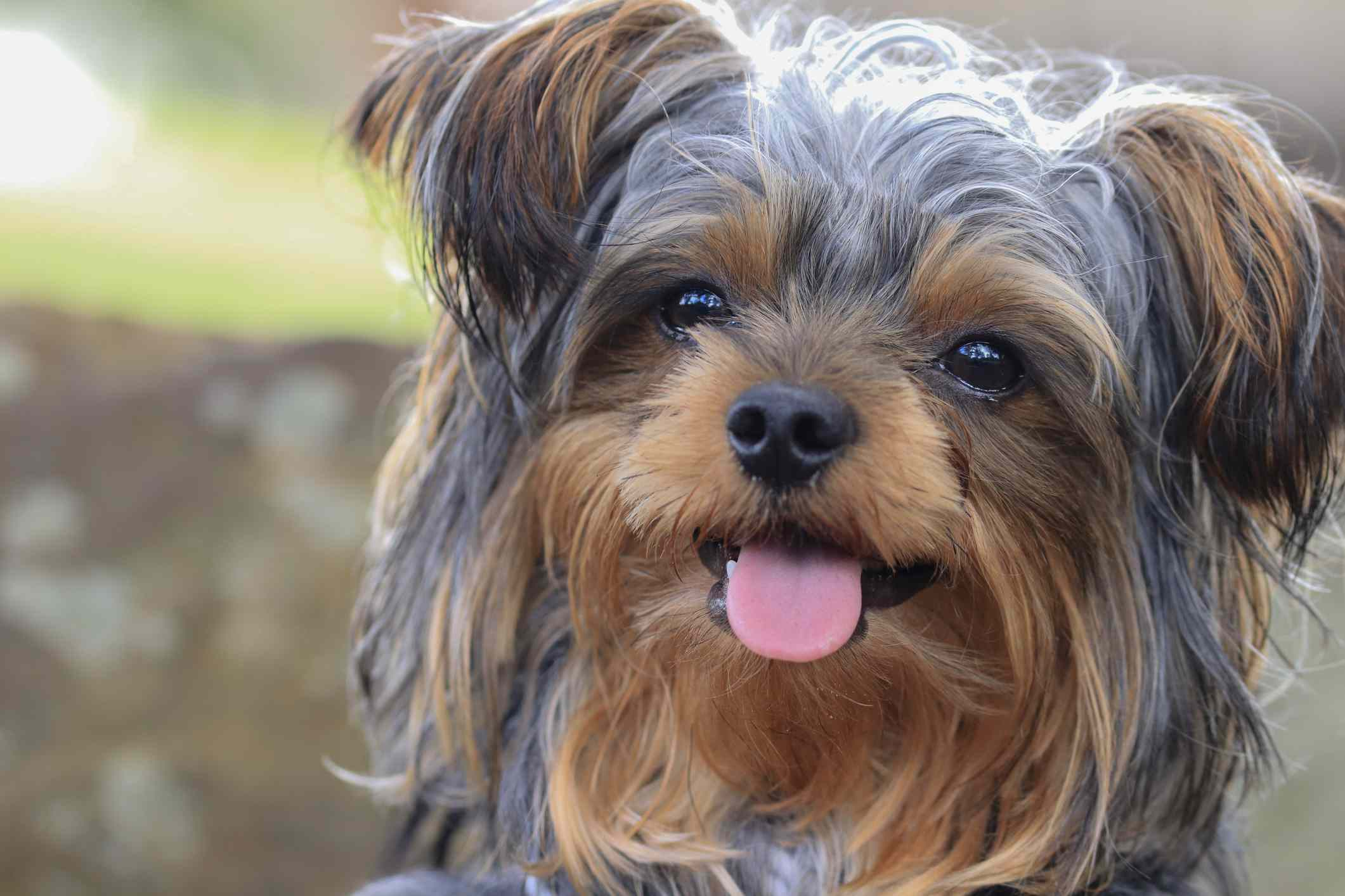 close up of face of yorkie puppy with shaggy tan and gray hair and tongue sticking out