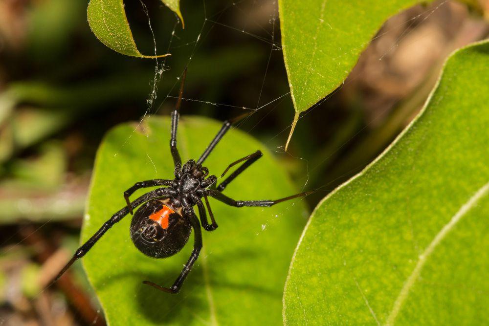 A black widow spider making a web near three green leaves