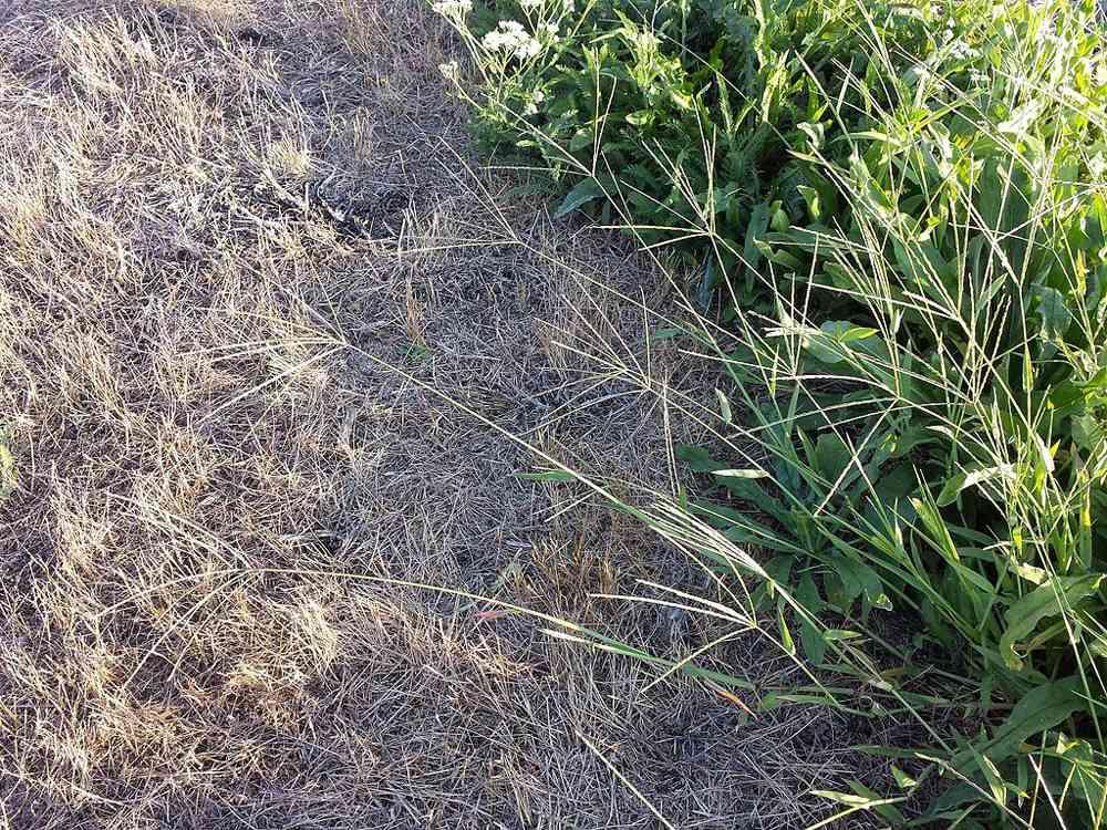 Large crabgrass growing along a field