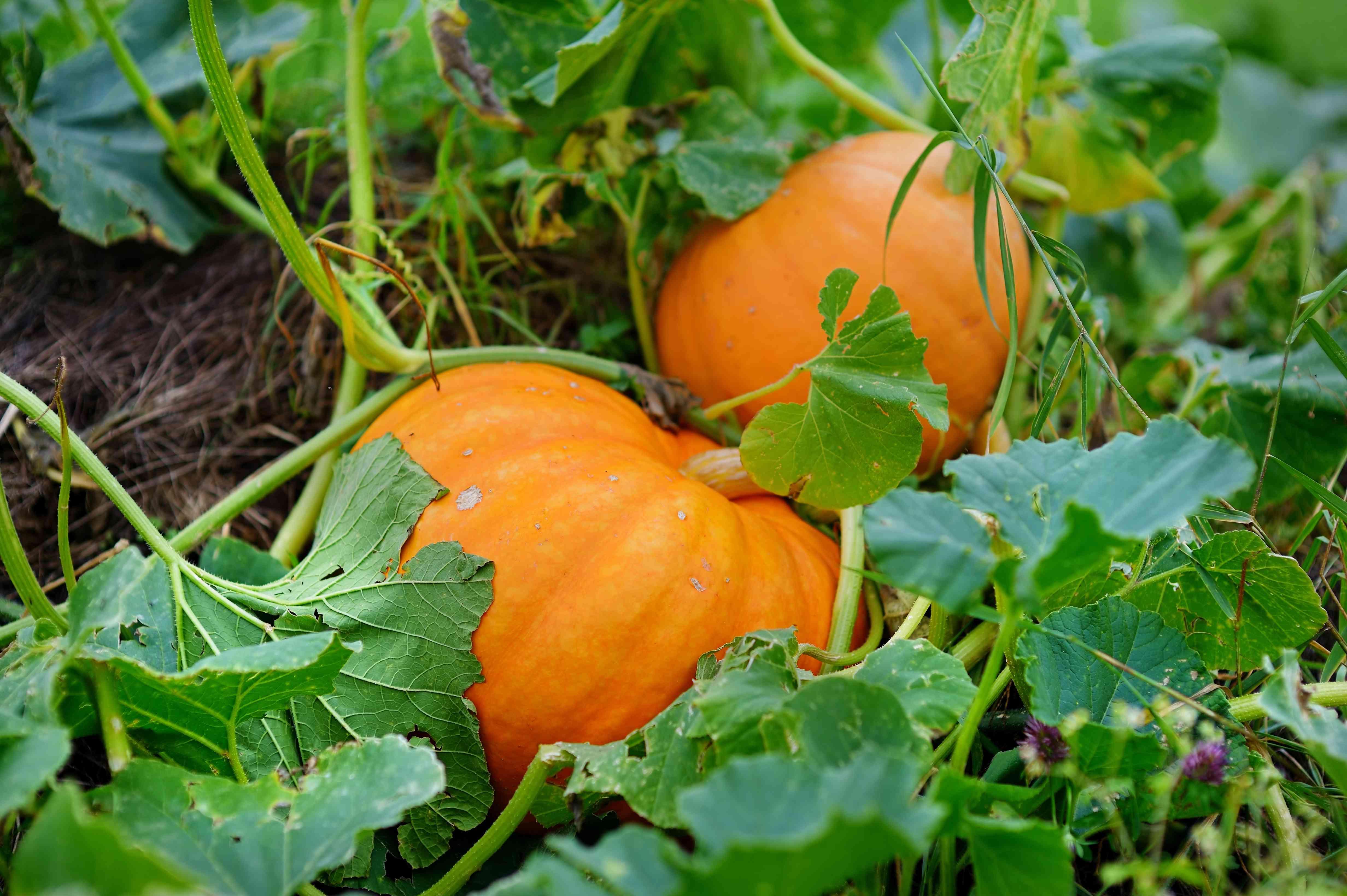 pumpkins in a home garden