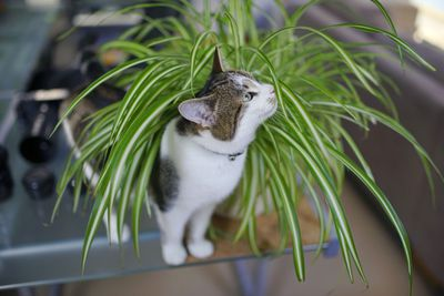 A cat standing in a spider plant