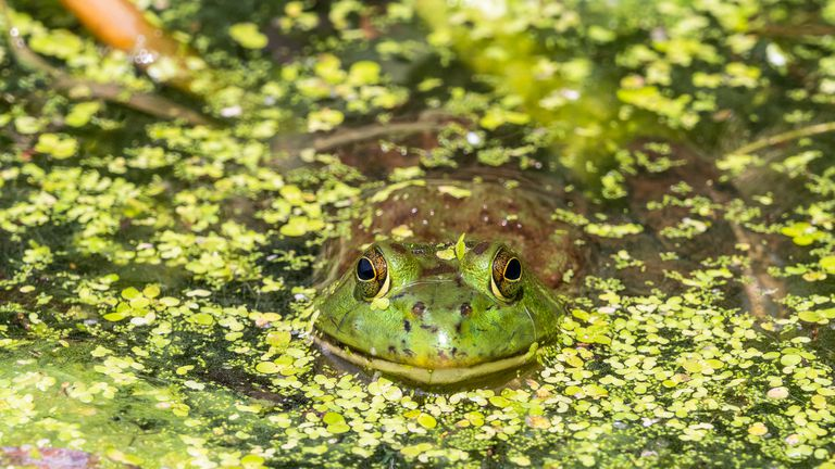 An American Bullfrog waiting for prey in a New York pond