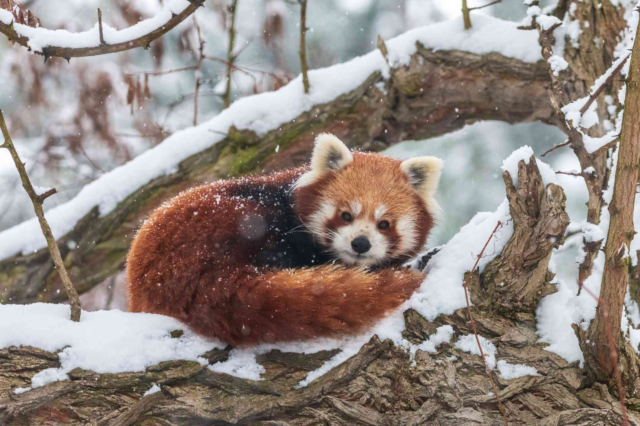 A red panda curled up in the snow