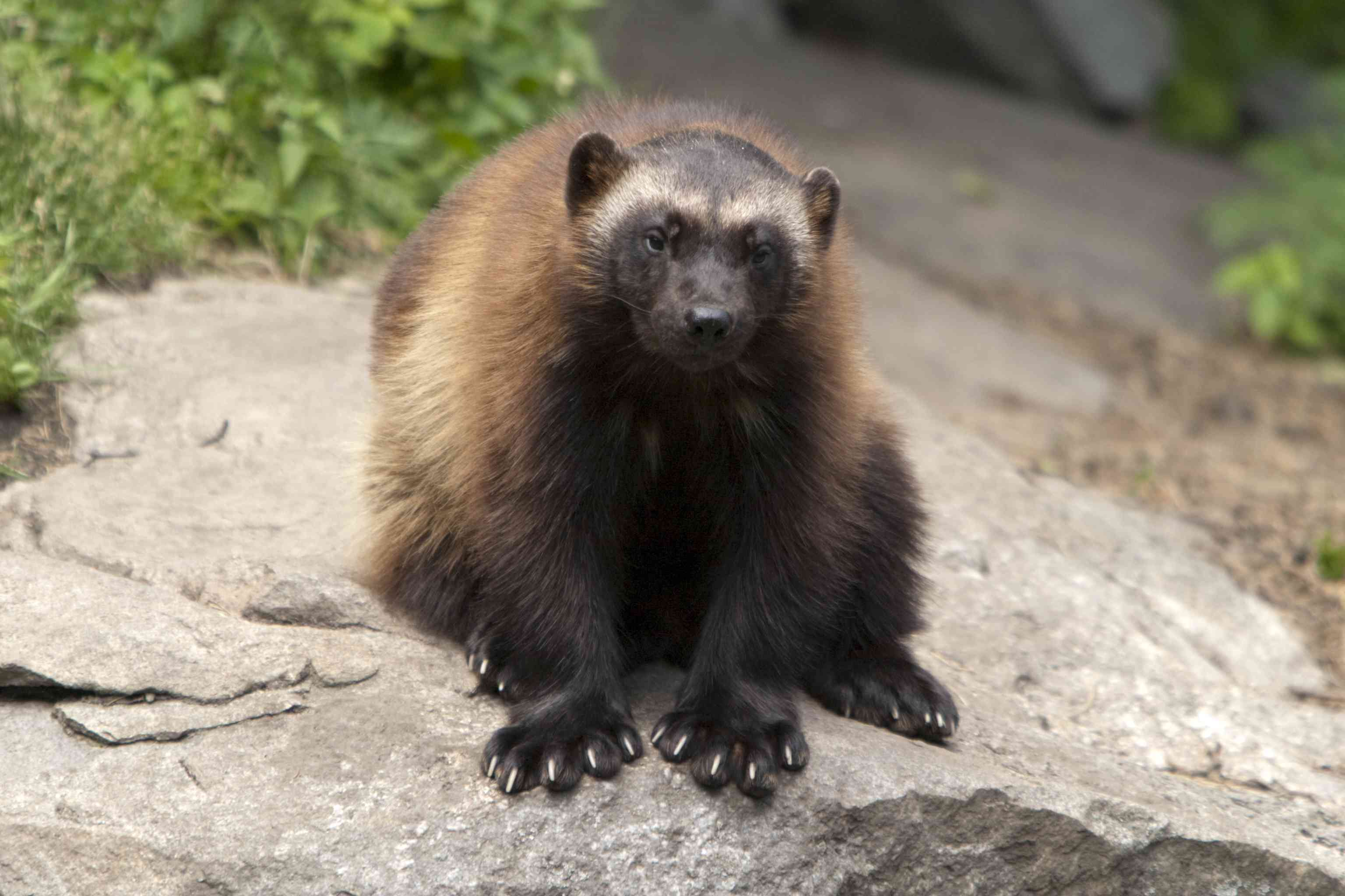 brown wolverine facing front while sitting on rock
