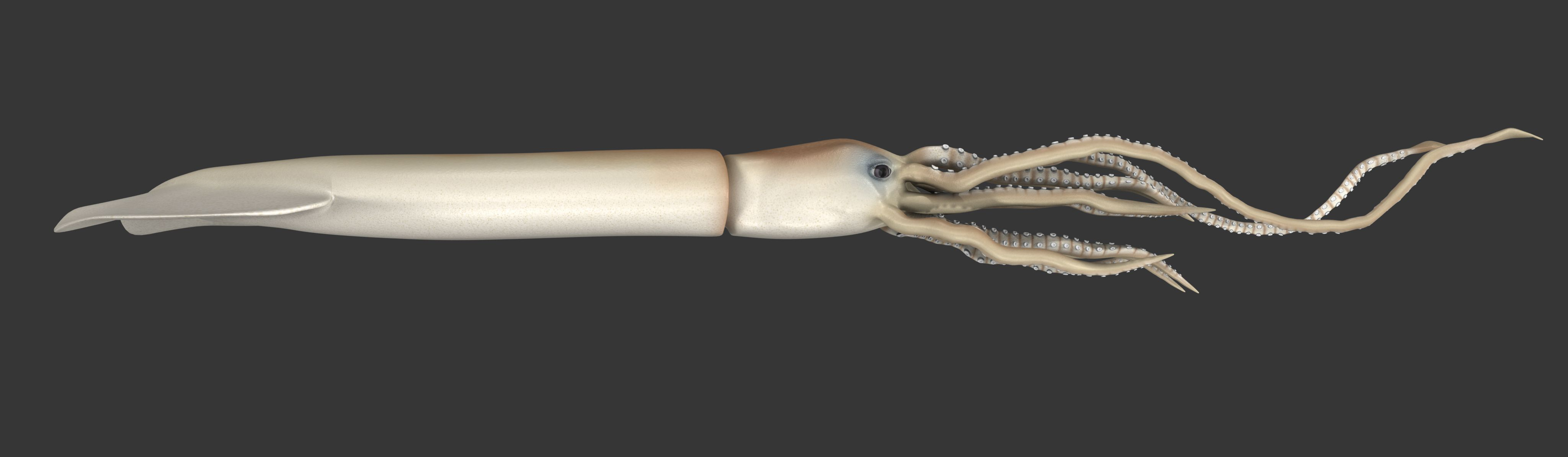 A profile of the giant squid.