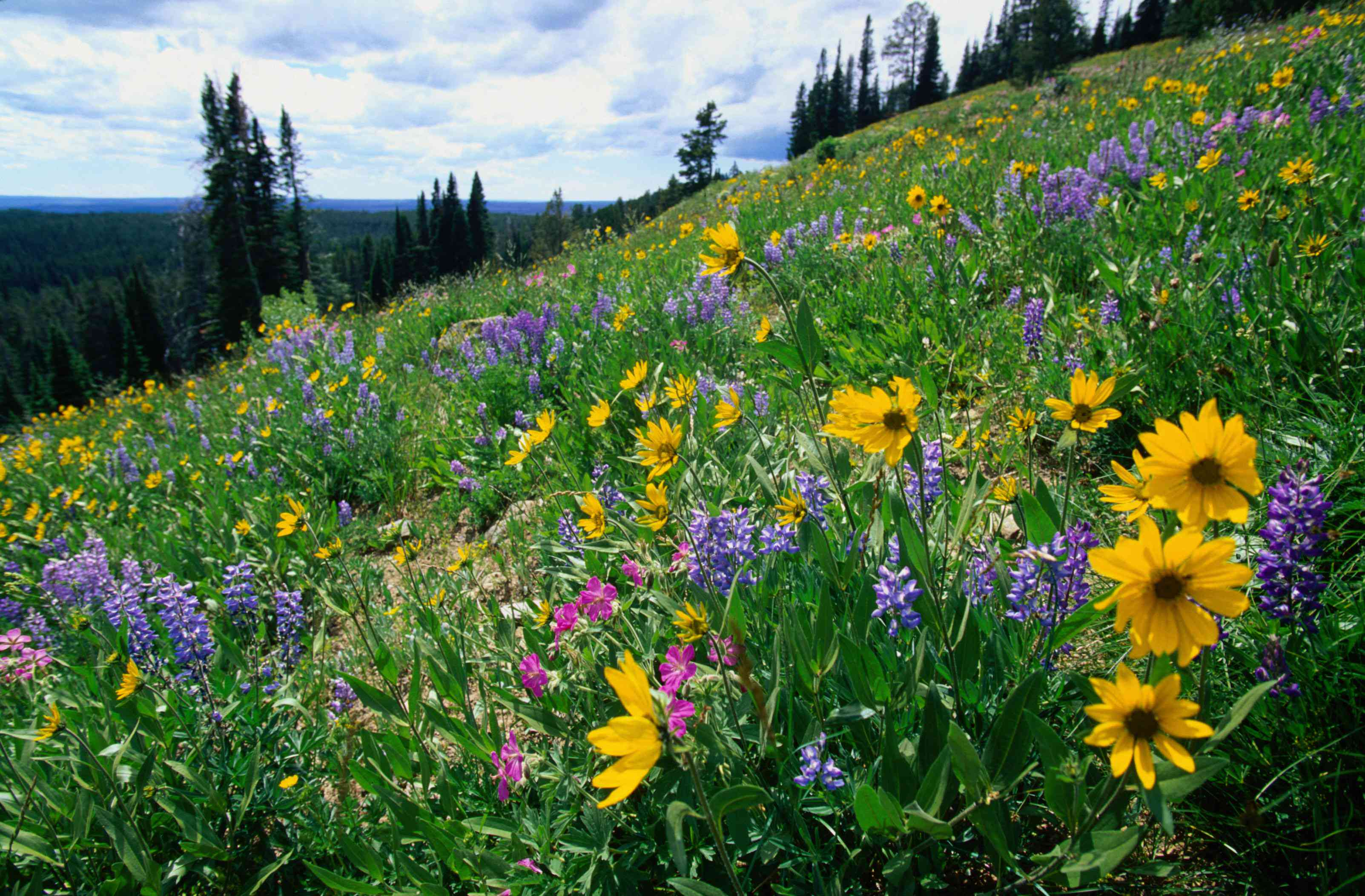 Blue lupins and heartleaf arnica wildflowers
