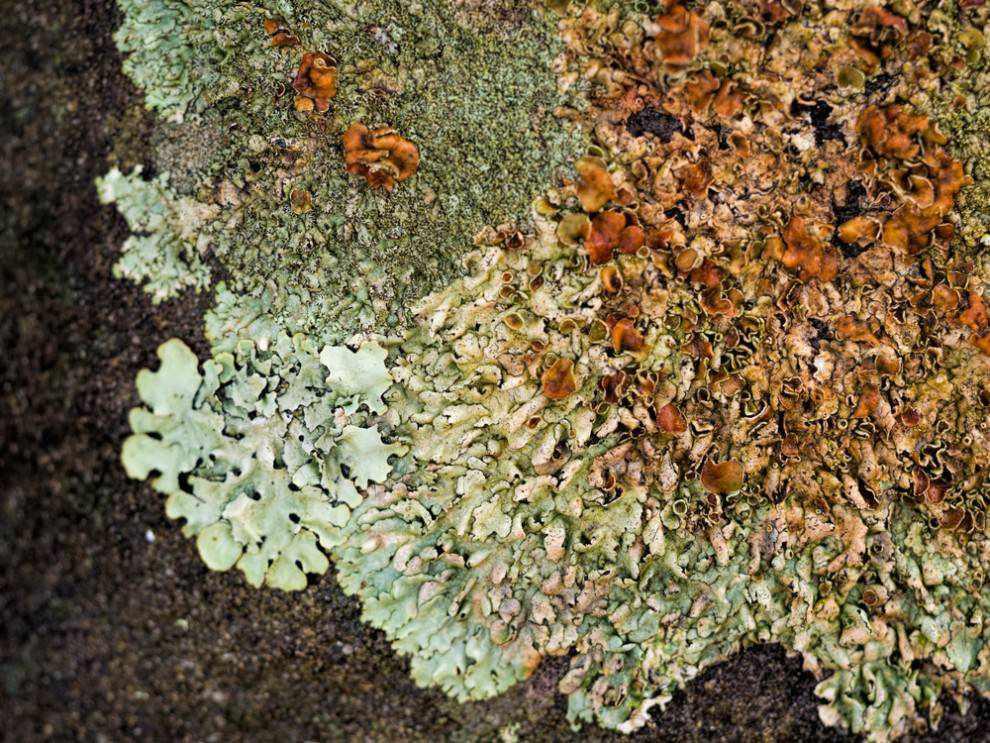 Multi-textured and multi-colored lichen