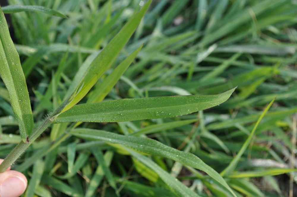 Close-up of smooth crabgrass