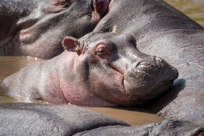 Hippopotamus In River