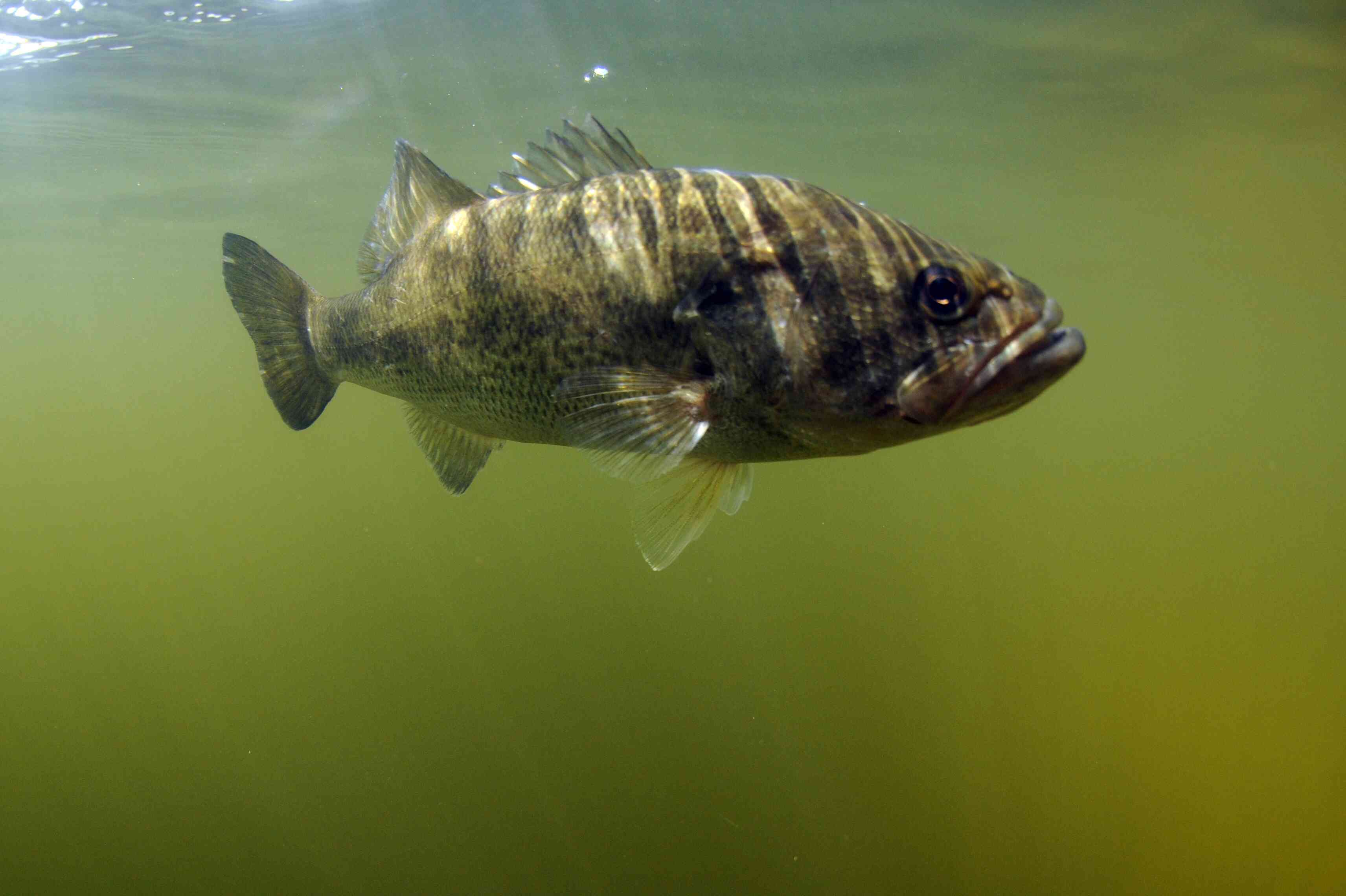 A largemouth bass swimming in its natural freshwater habitat