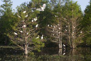 A flock of nesting ibises in Atchafalaya Basin, Louisiana.