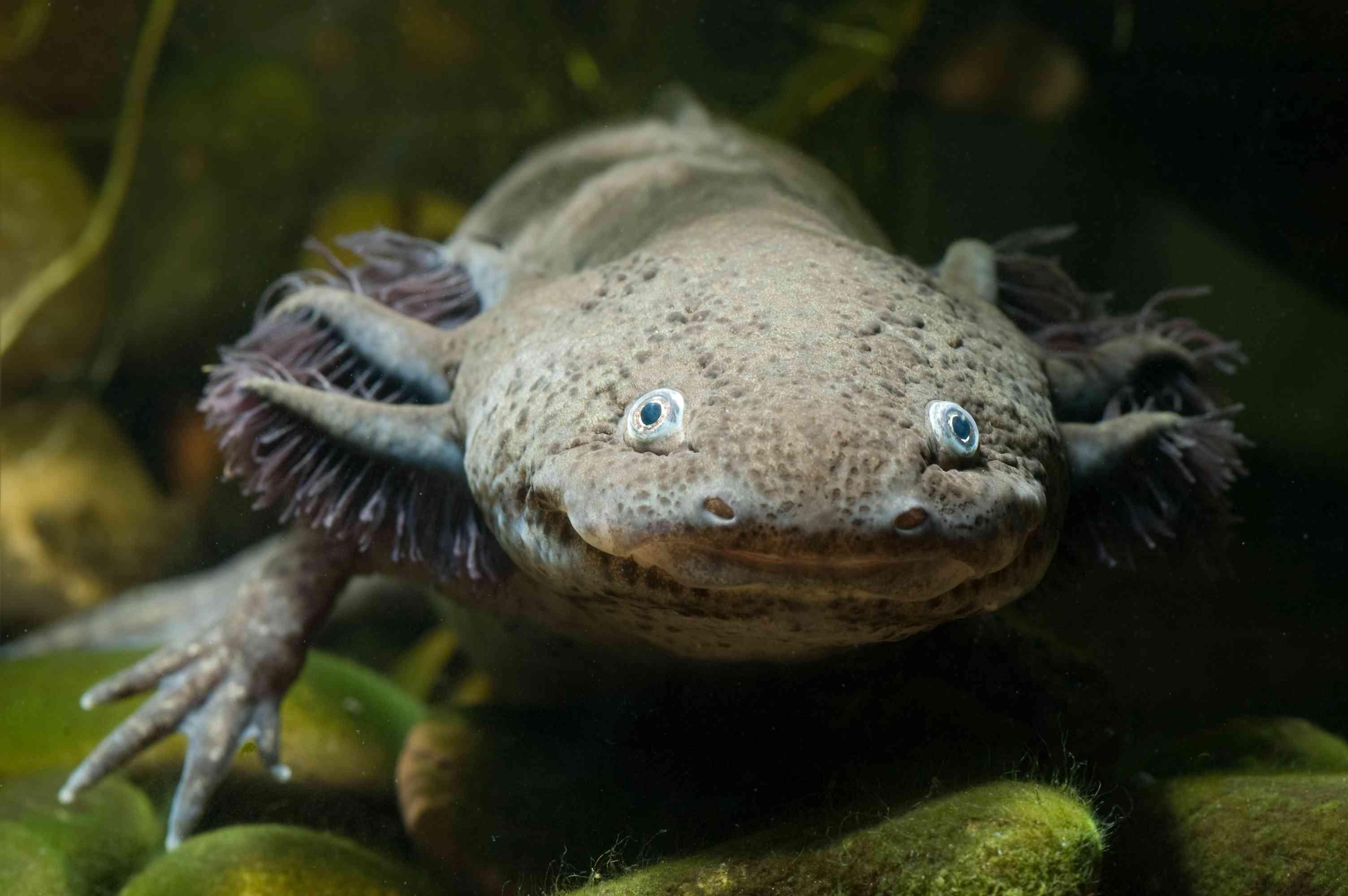 Face of an axolotl