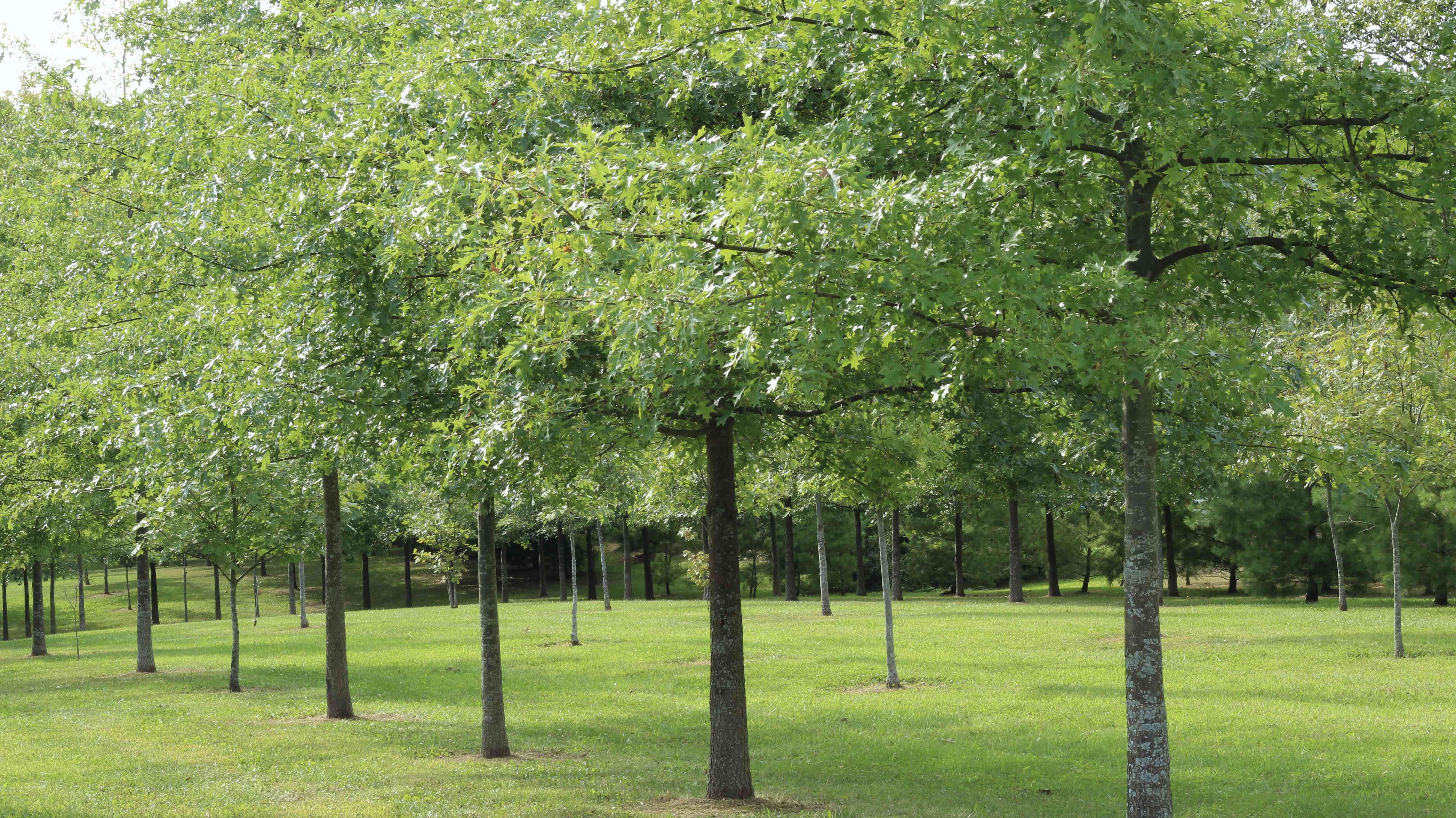 Pin Oak trees lined up in a row in a park.