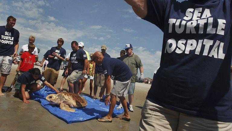 Rehabilitated Sea Turtles Returned To The Wild