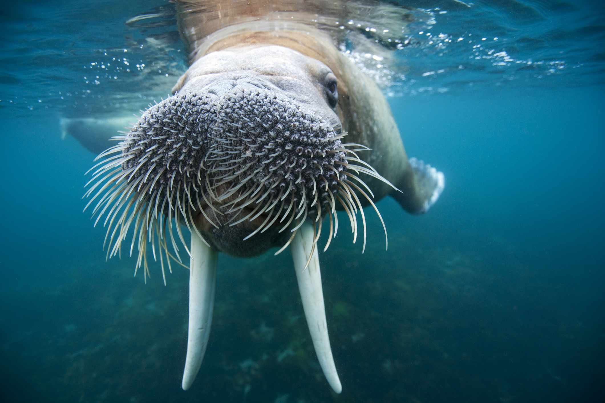 close up view of walrus underwater with vibrissae and tusks visible