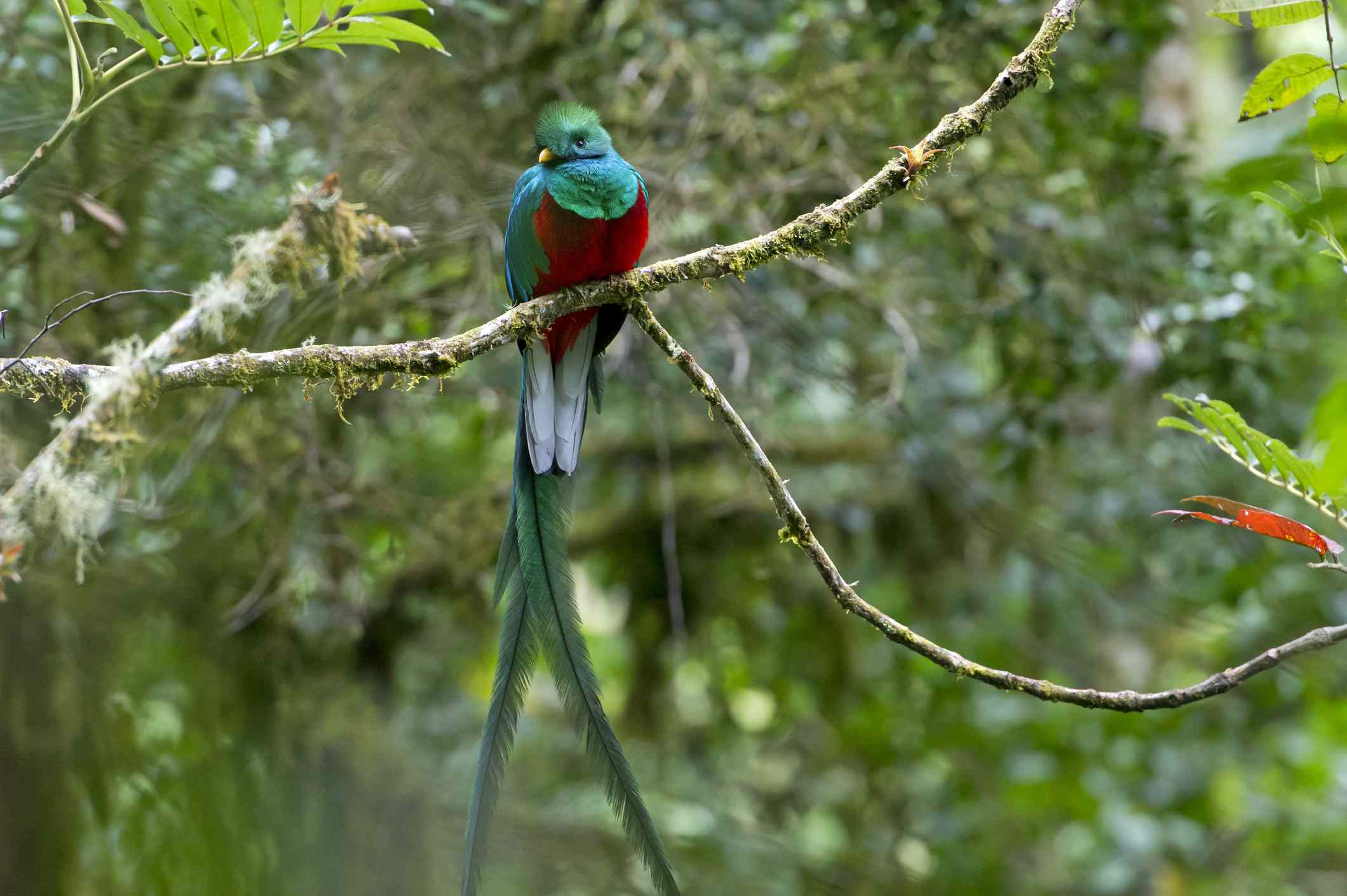 Resplendent quetzal with bright turquoise and red plumage perches in tree