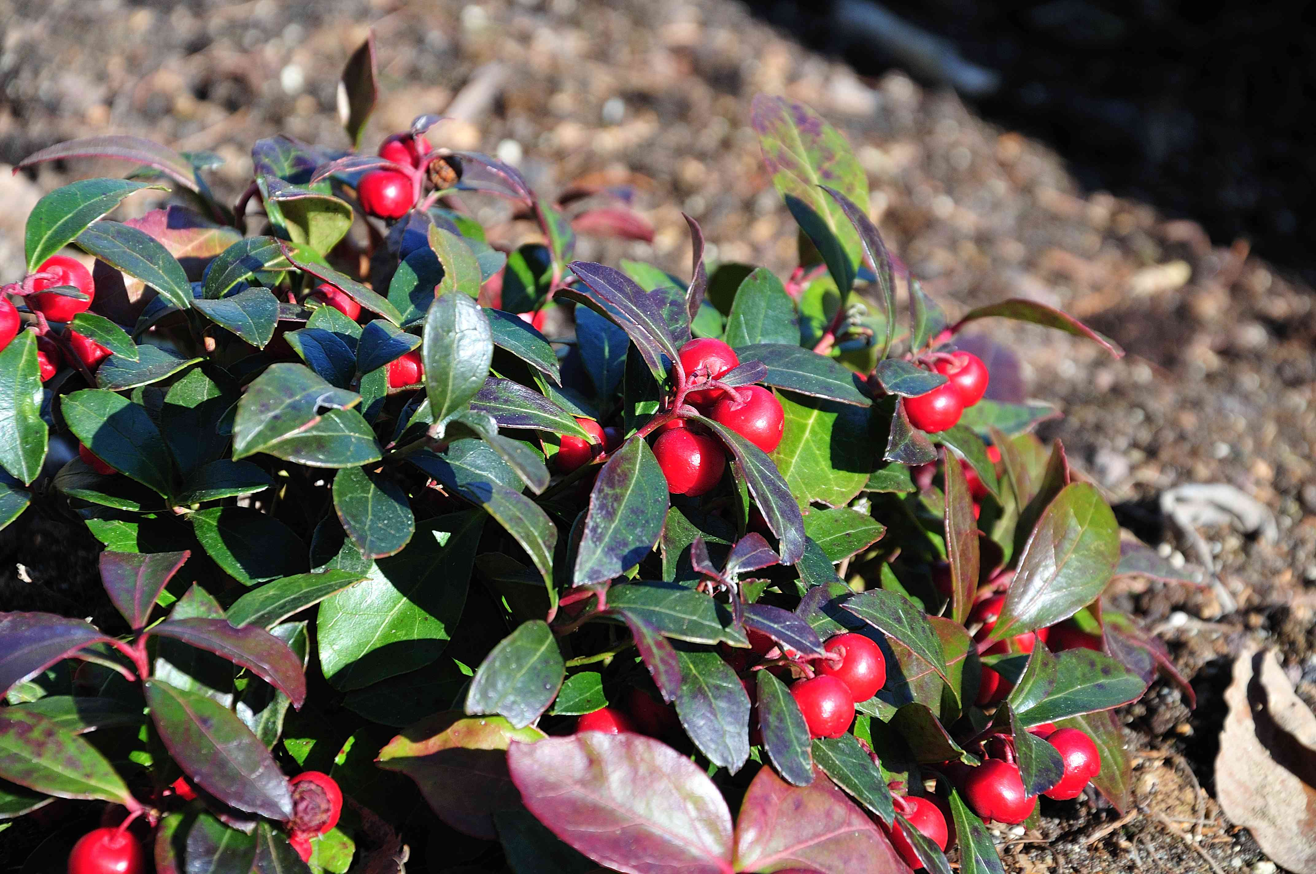 american wintergreen with red fruits
