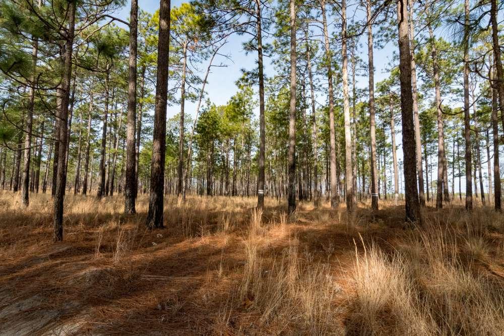 Longleaf pine forest in North Carolina