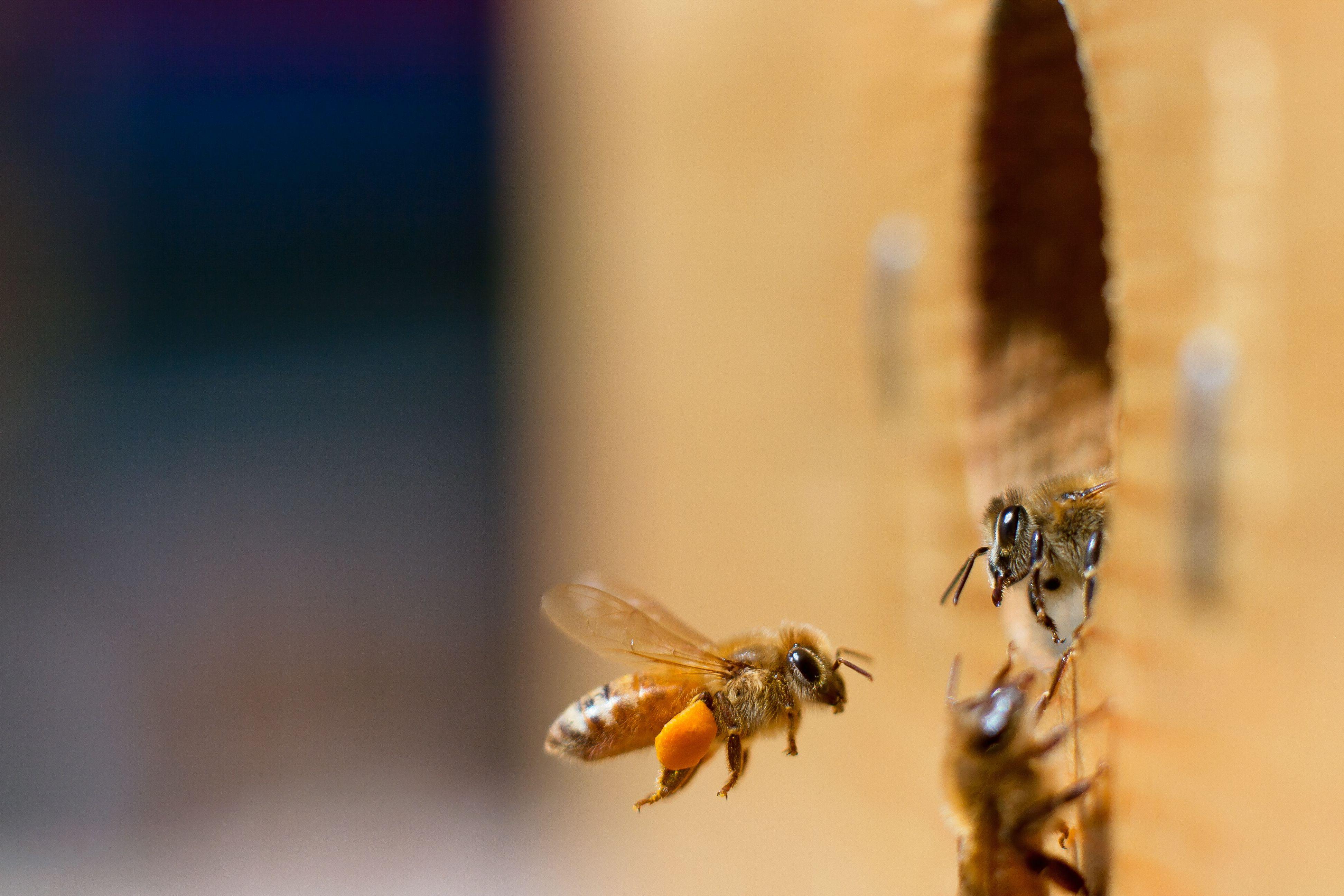 American Honeybees Just Can't Get a Break