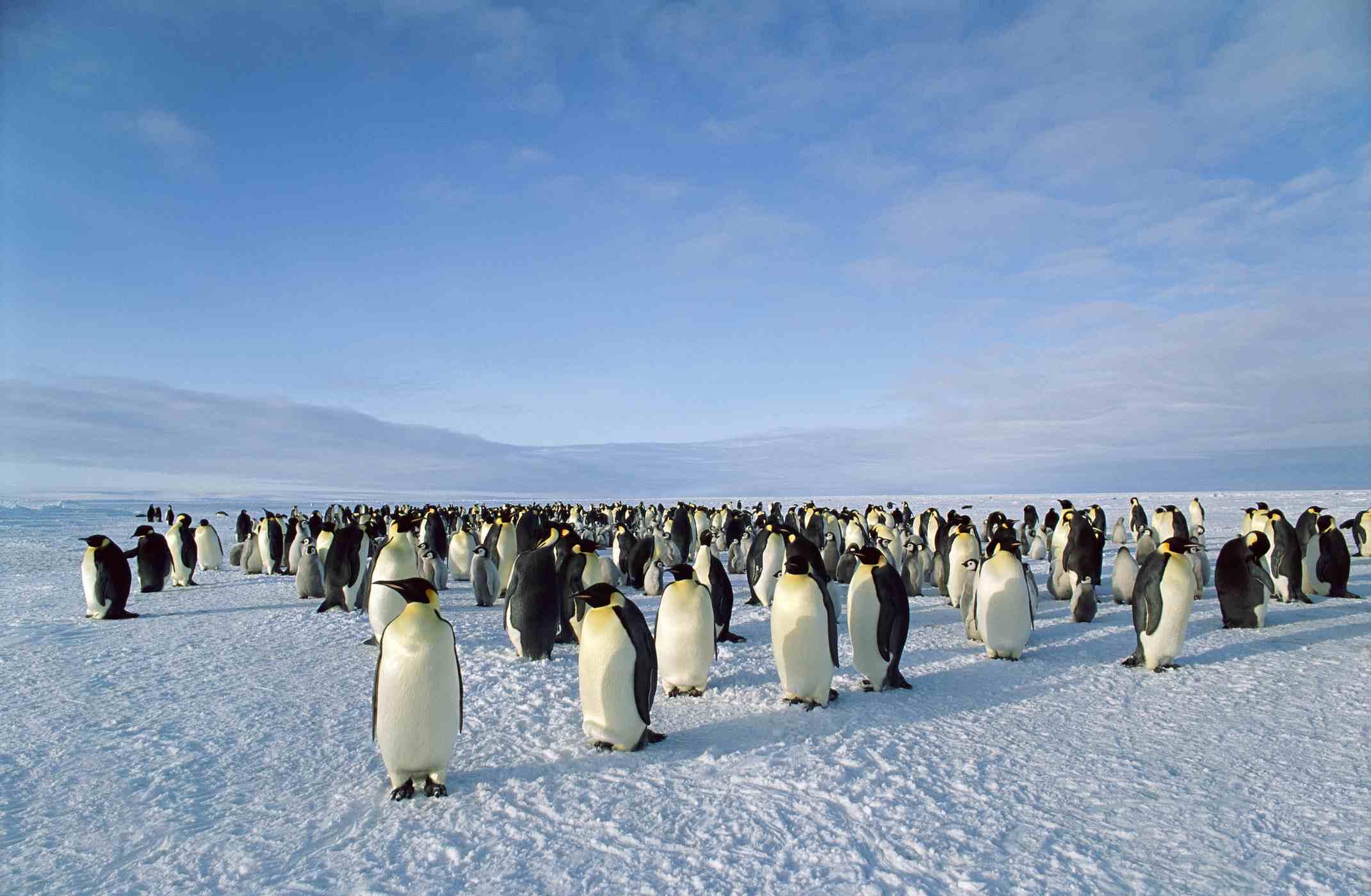 emperor penguins on parade