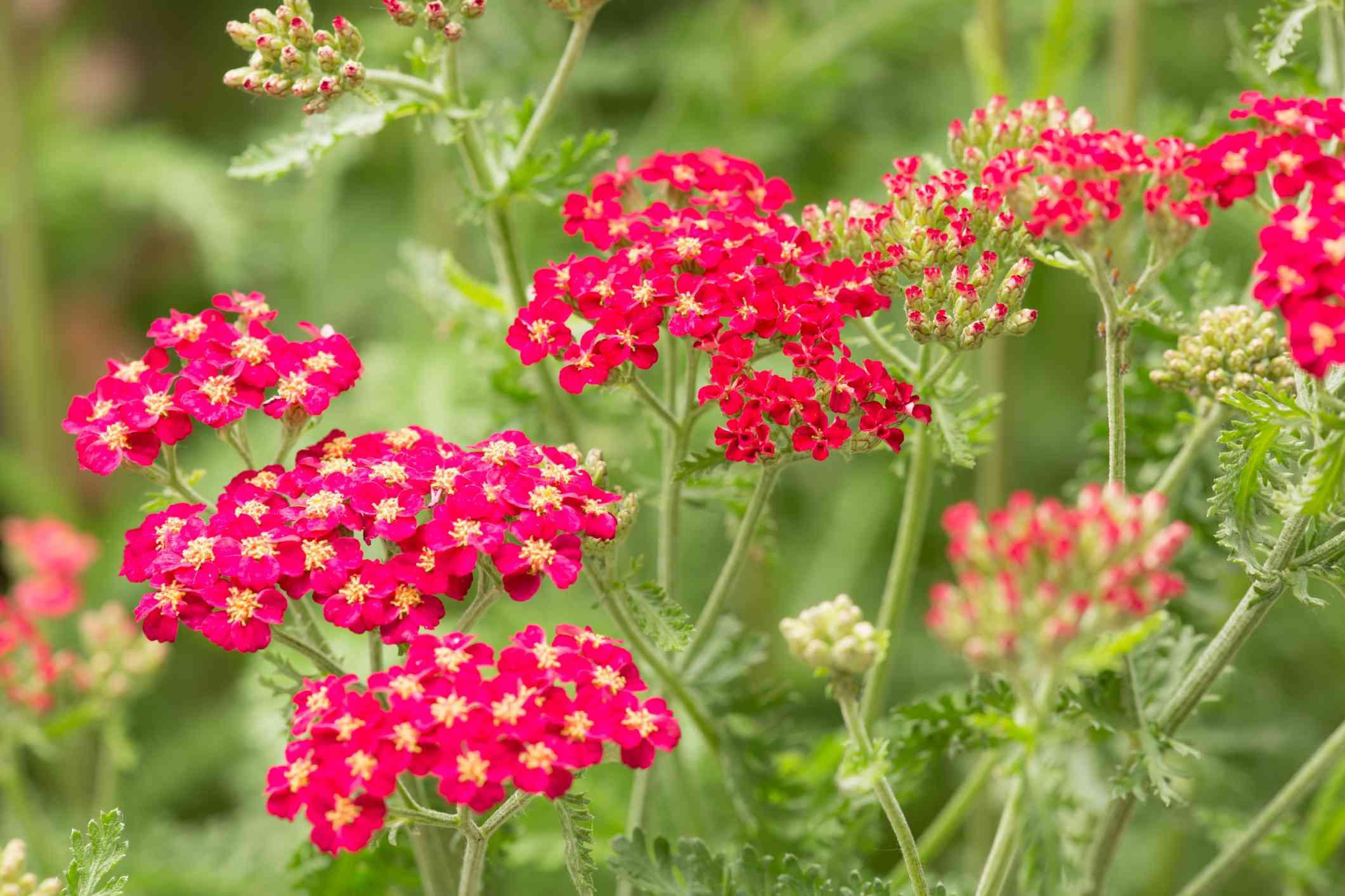 Red yarrow flowers