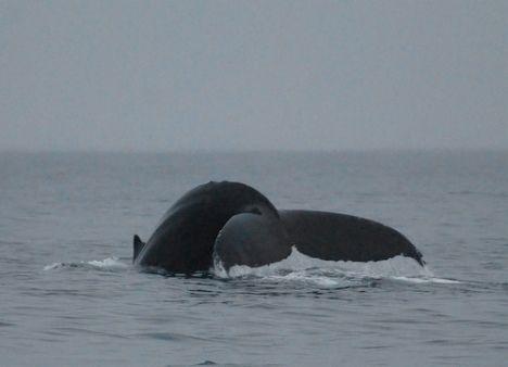 humpback whale fin photo