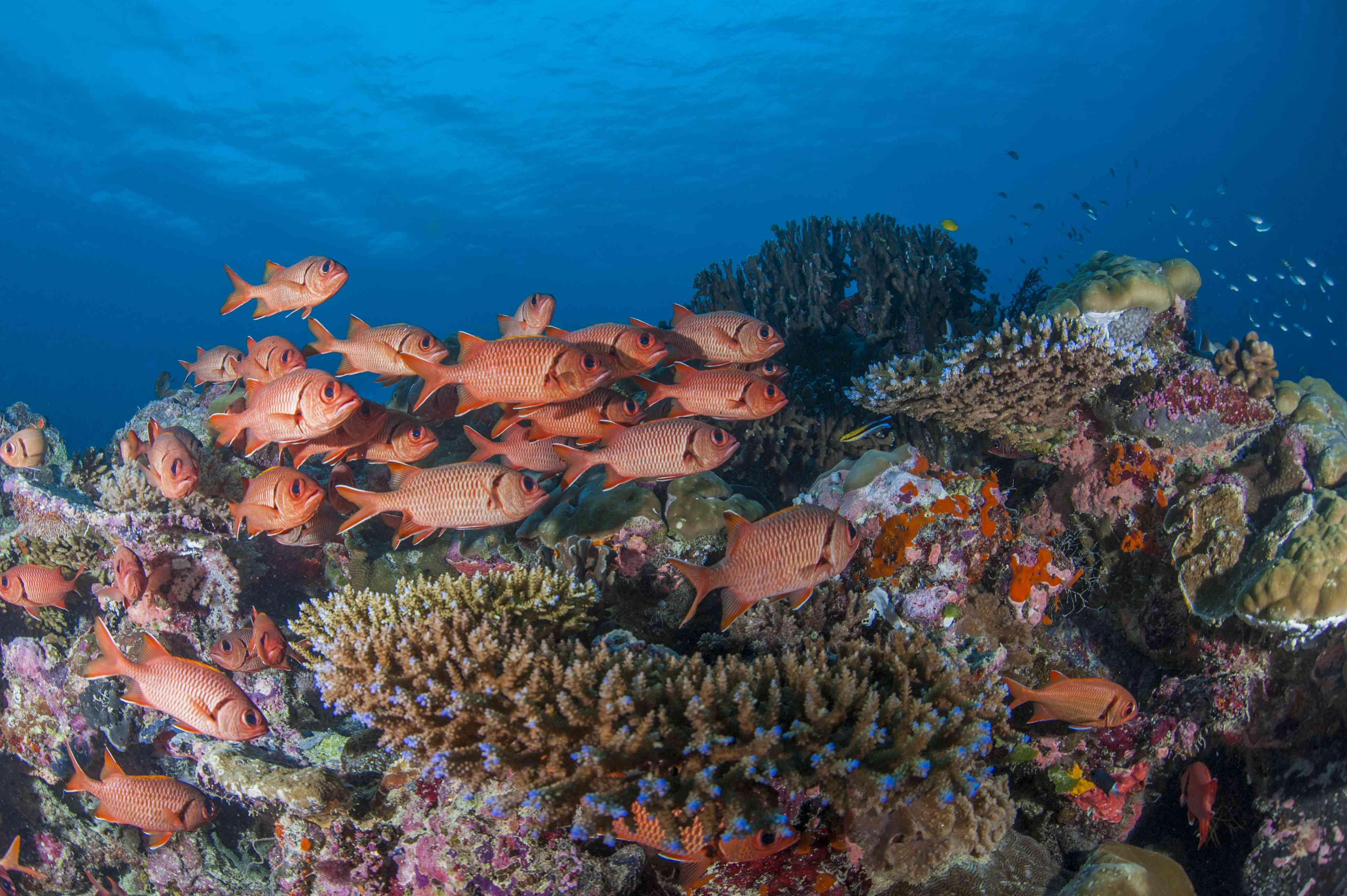 a school of orange squirrel fish on a colorful coral reef in Palau