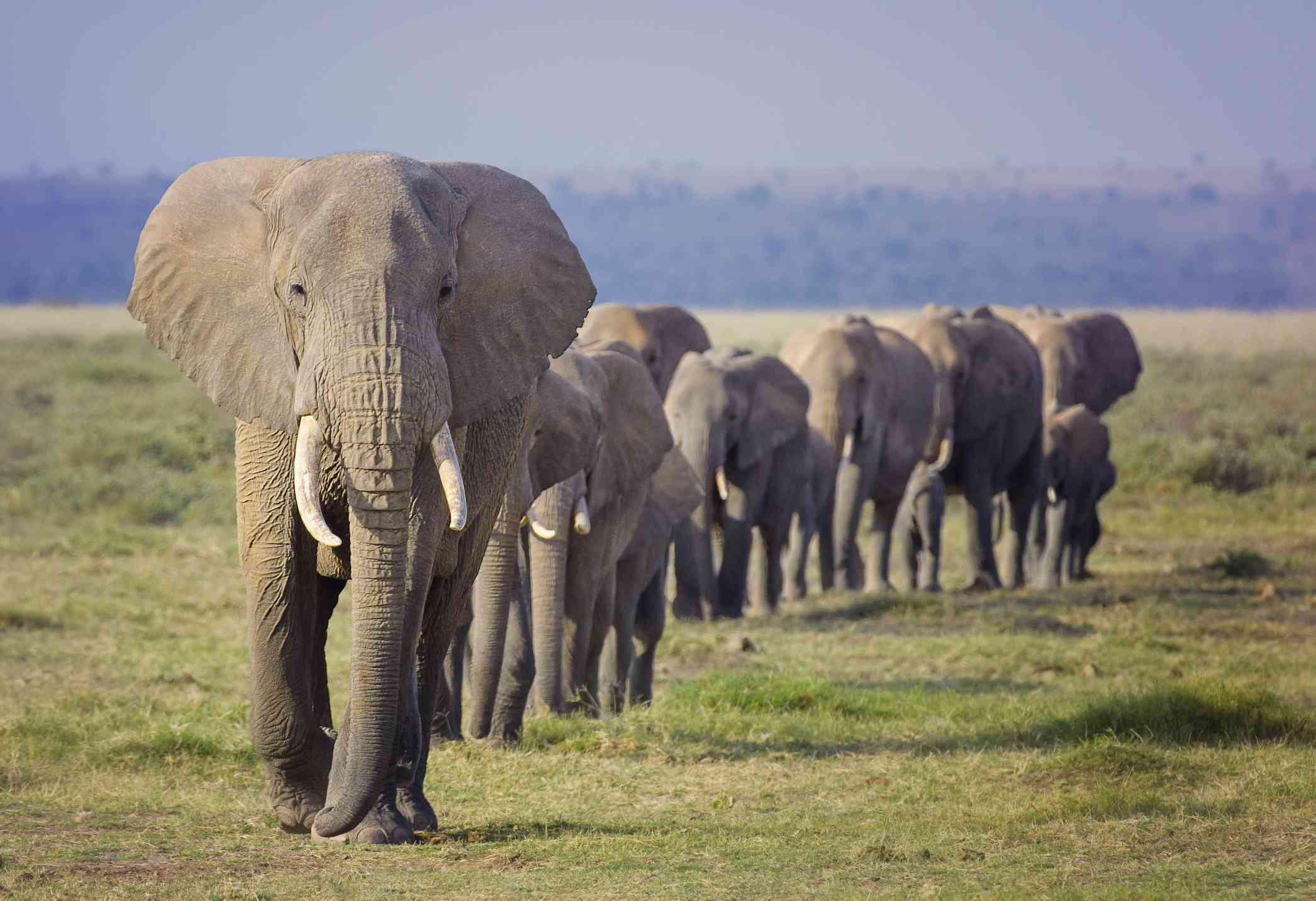 herd of elephants walking in single file down grassy flat area