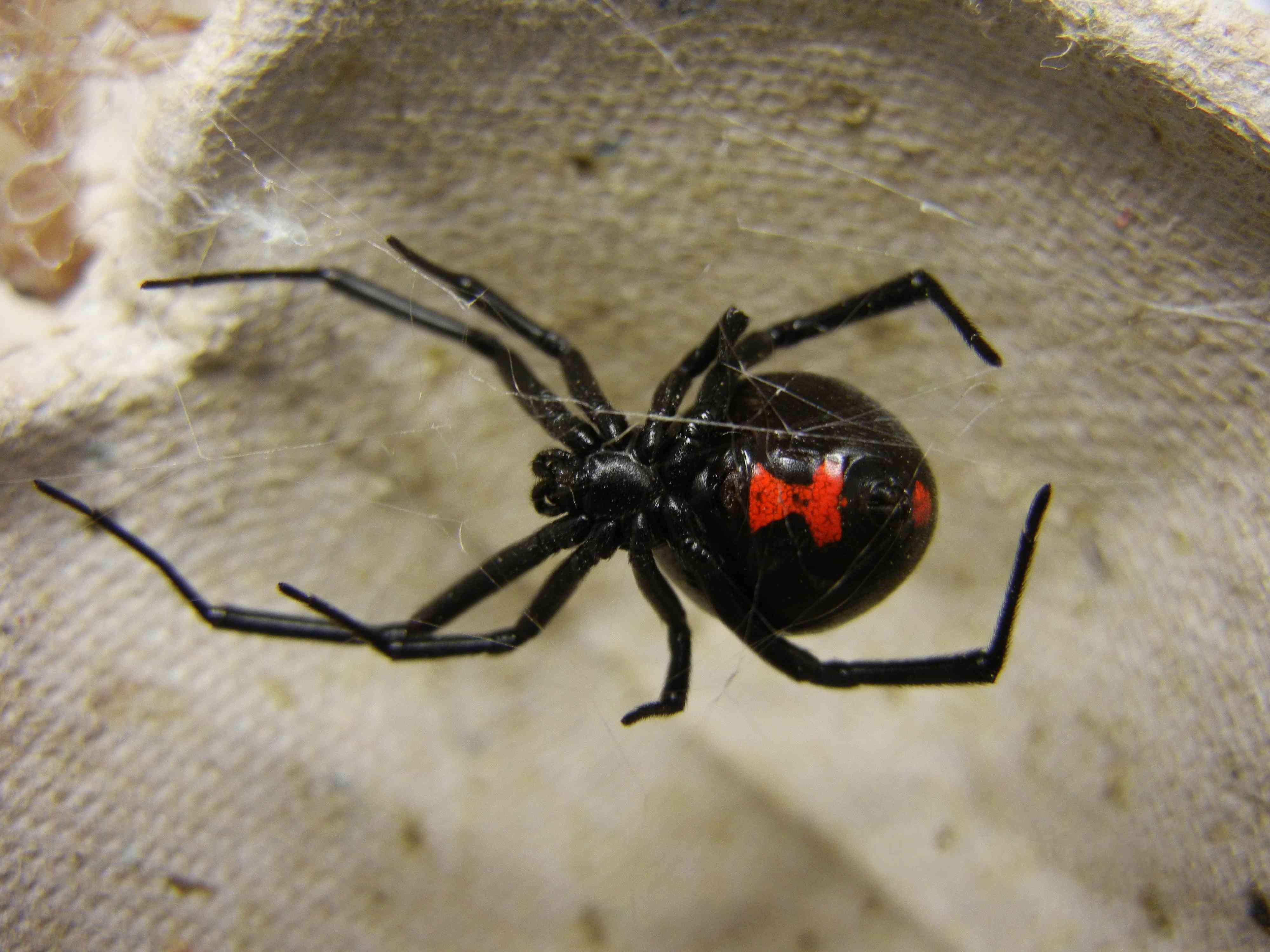 black widow spider female, with red hourglass marking on abdomen