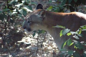closeup of Florida panther