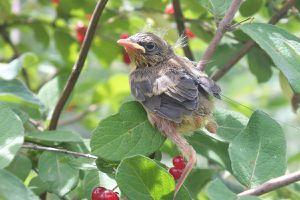 Radio-tagged fledgling Common Yellowthroat