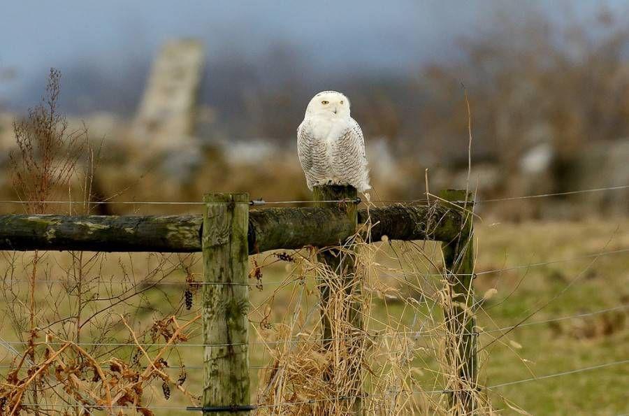 snowy owl on fence