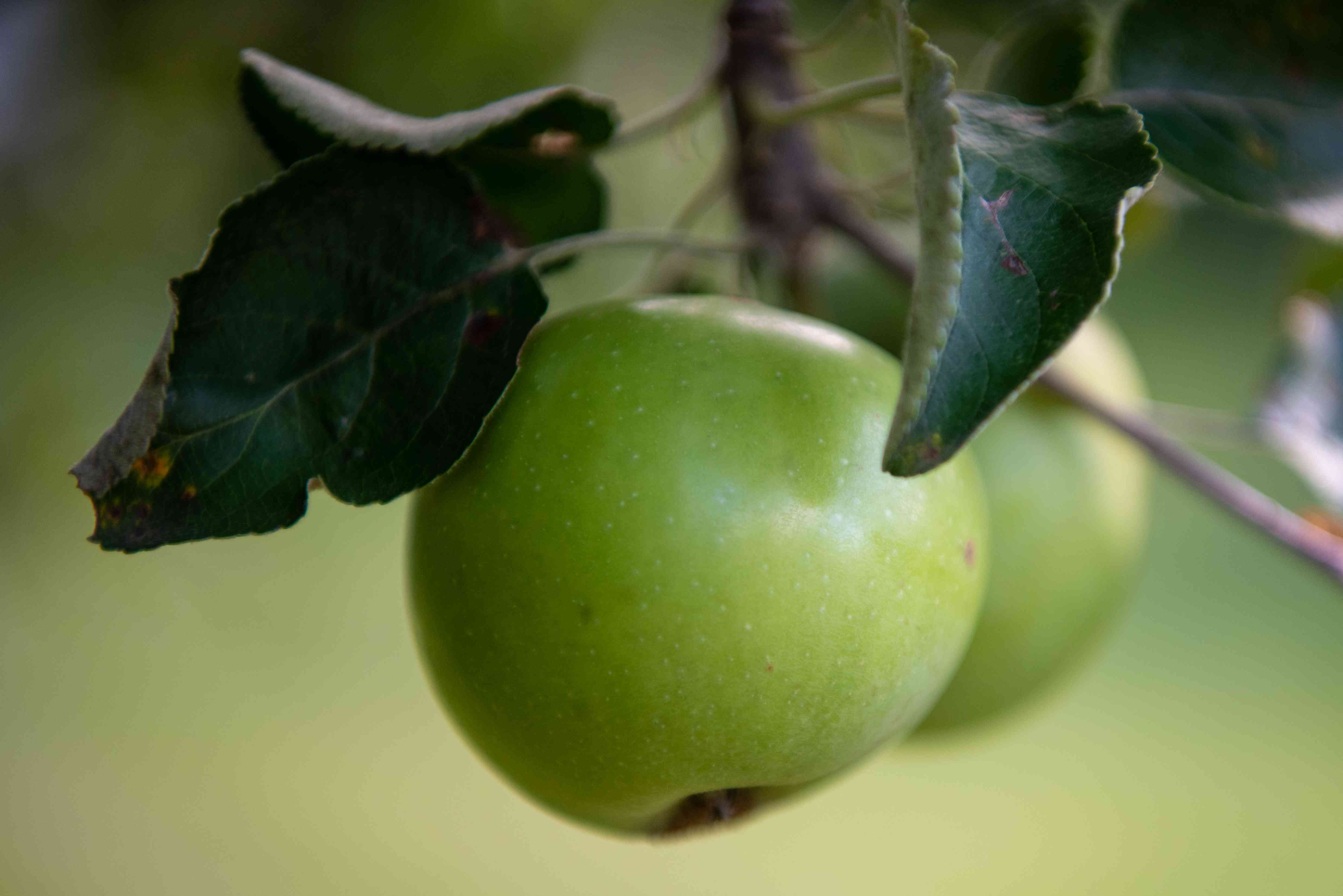closeup photo of green apple on tree with leaves